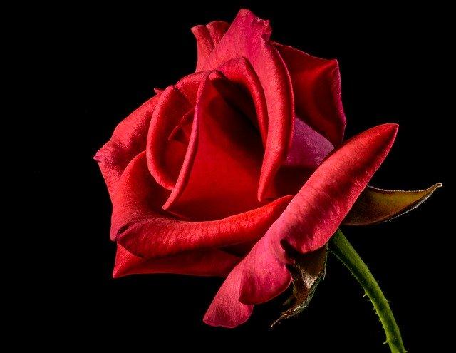 Les avantages des roses éternelles sous cloche